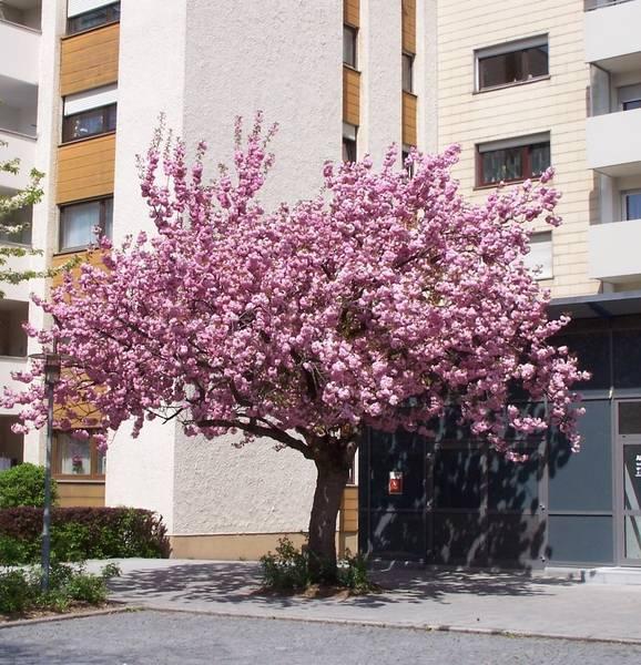 Japanischer Kirschbaum in der Prager Straße